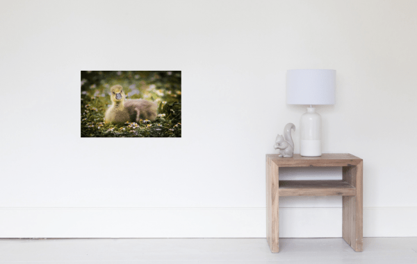 Gosling poster - cute baby animals to decorate your room.