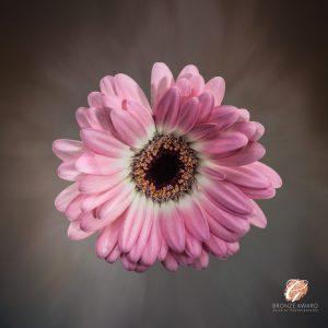 Gerbera flower receives Bronze award