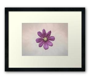 cosmos flower photographic print