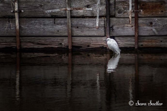Wildlife Photography at Widewater Lagoon - the Little Egret