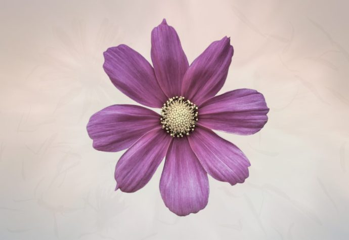 Purple Cosmos Flower fine art photography