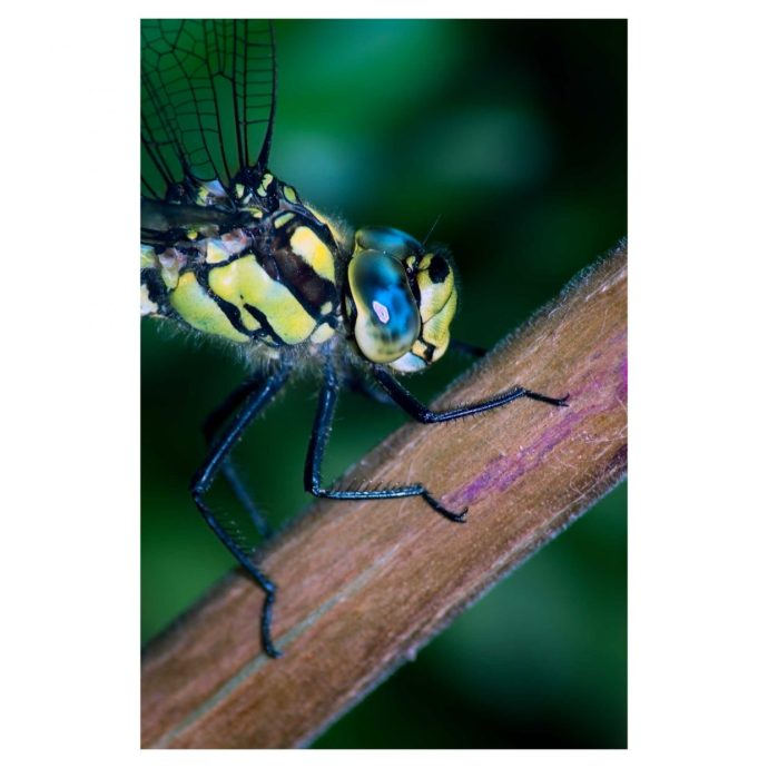Close up of a Southern Hawker Dragonfly