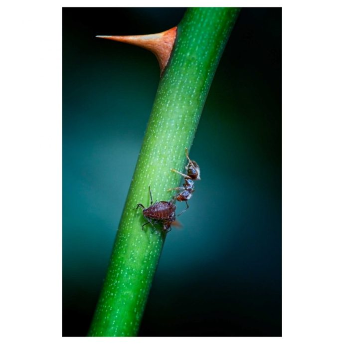 ant milking an aphid on a rose stem