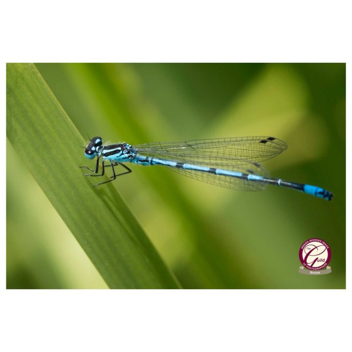 azure damselfly image wins bronze award