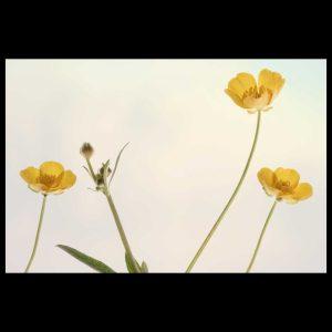 Summer buttercup flowers