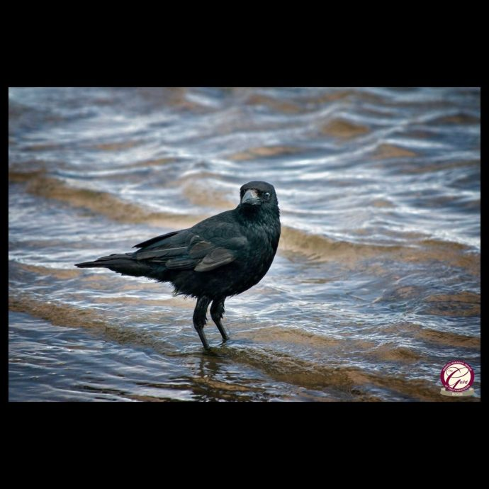 Crow in the sea wins Bronze award