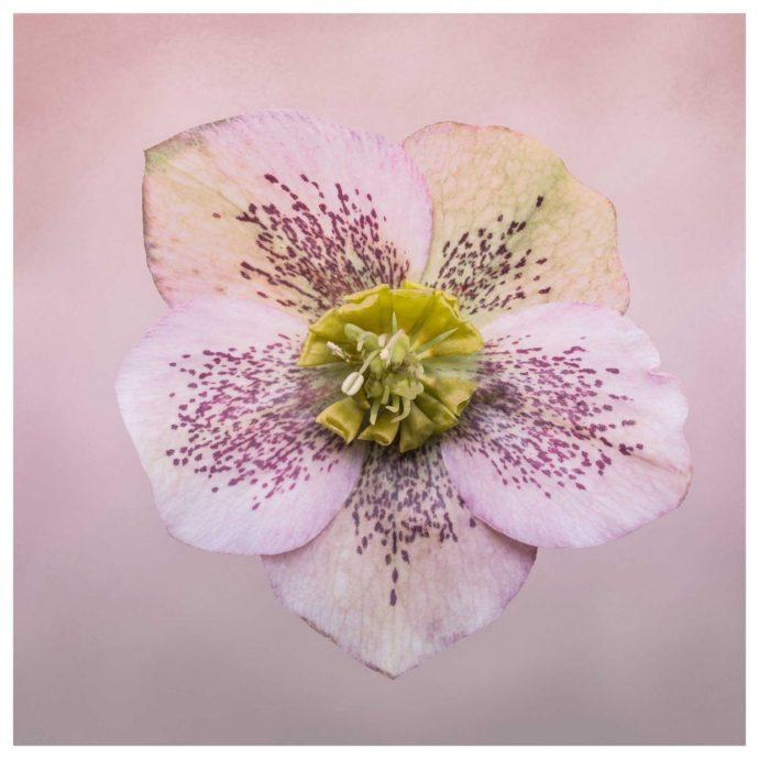 Pink Hellebores flower