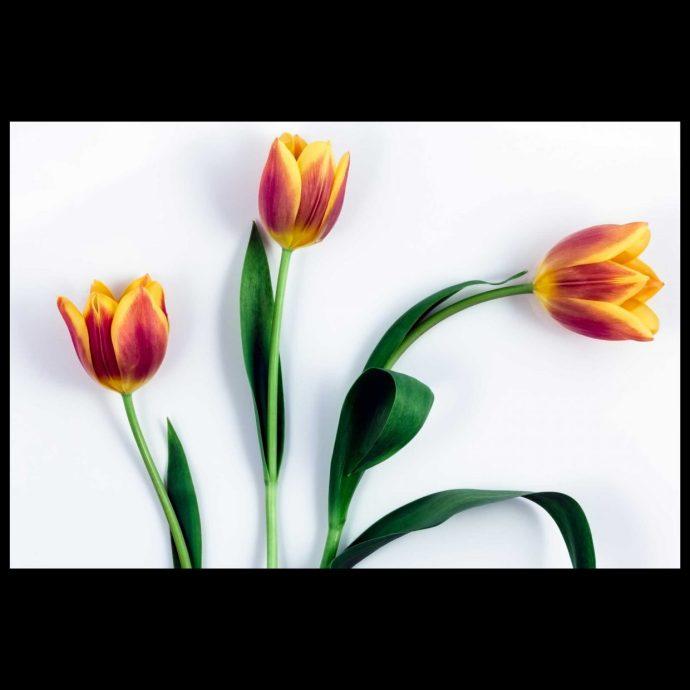 Three tulip flowers