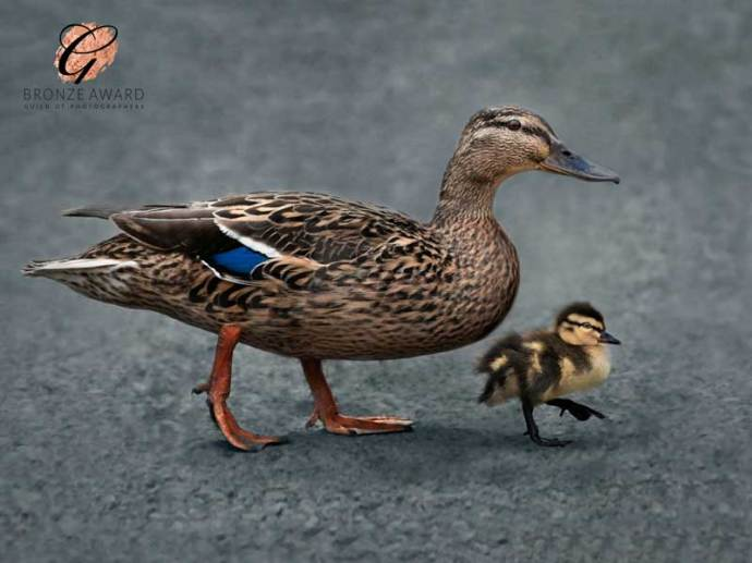 Duck and duckling - Bronze award