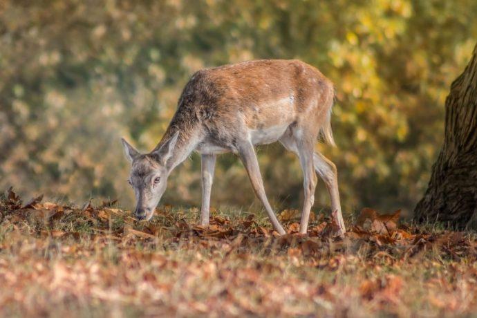 autumnal fallow deer