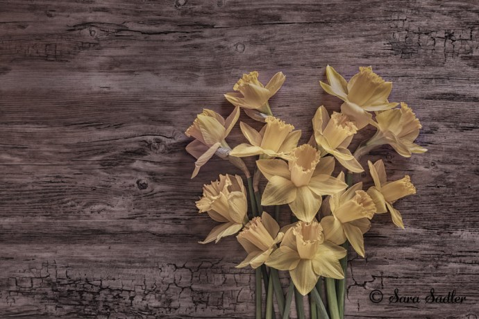 heart shaped spring daffodils