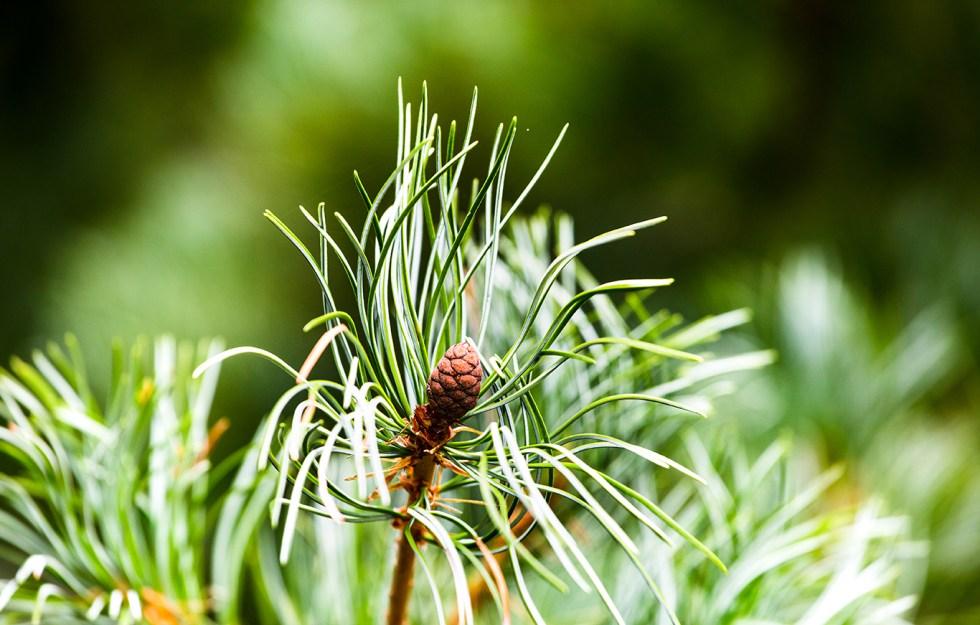 pine tree close up photography