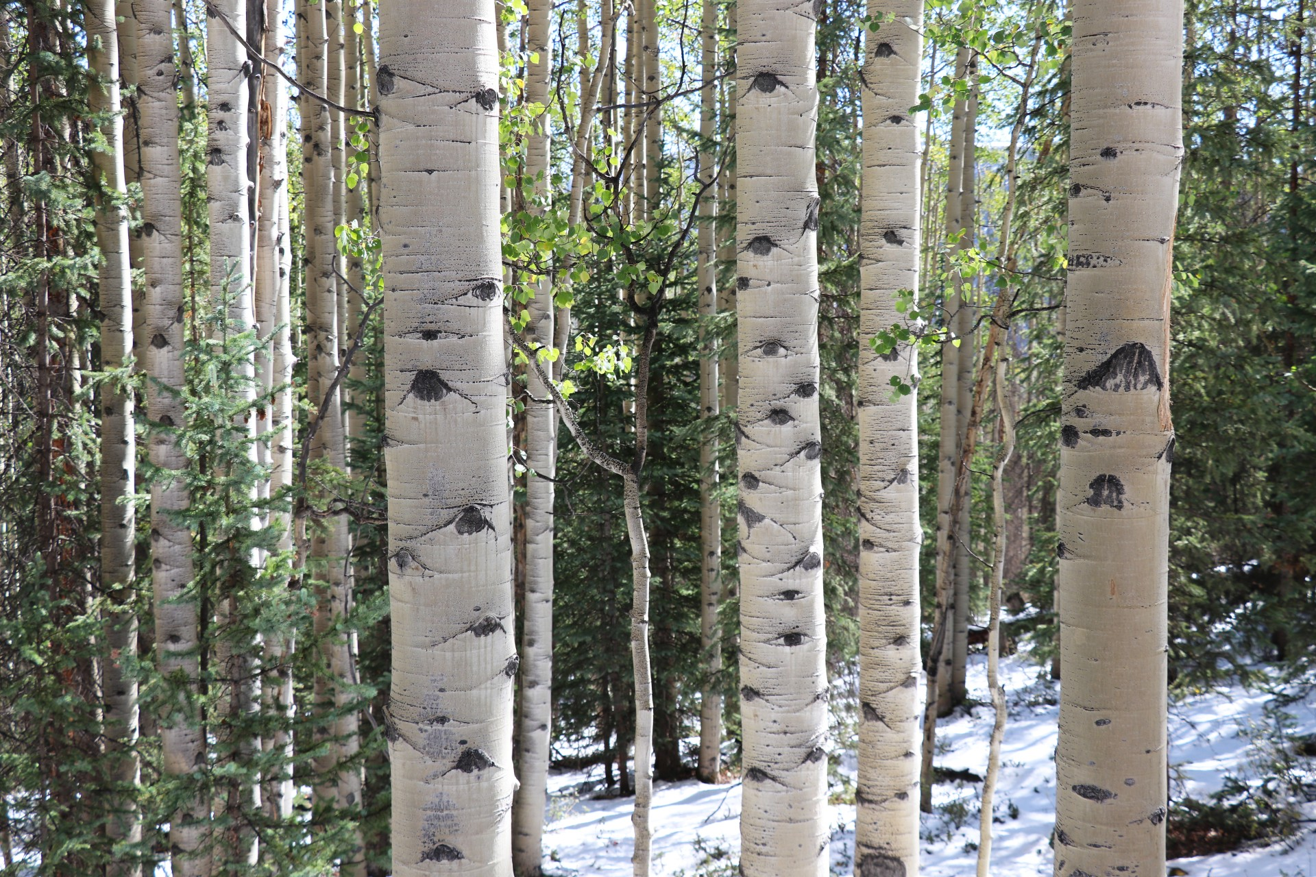 Aspen Trees Photographed By Sara Turbyfill Along The Bachelor Loop In Creede.