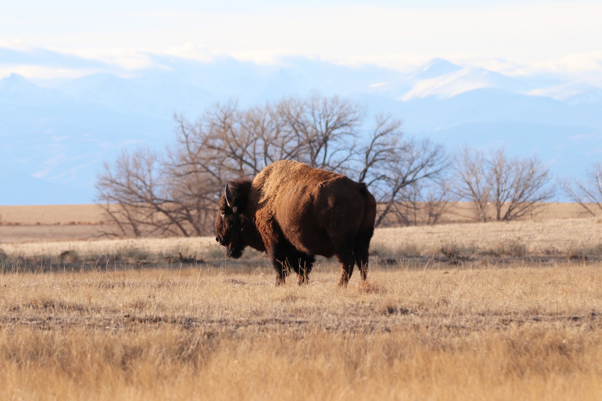 Bison Photographed By Sara Turbyfill In Adams County, CO.