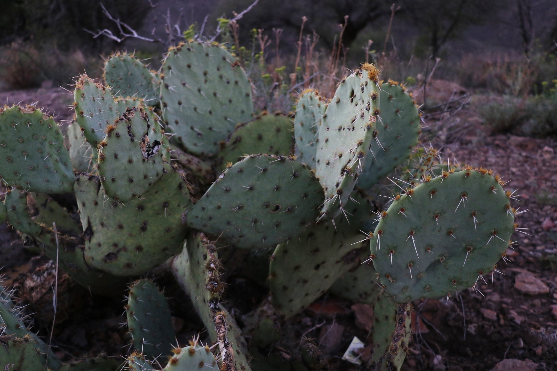 Cactus Photographed By Sara Turbyfill At Davis Mountains State Park In Texas.
