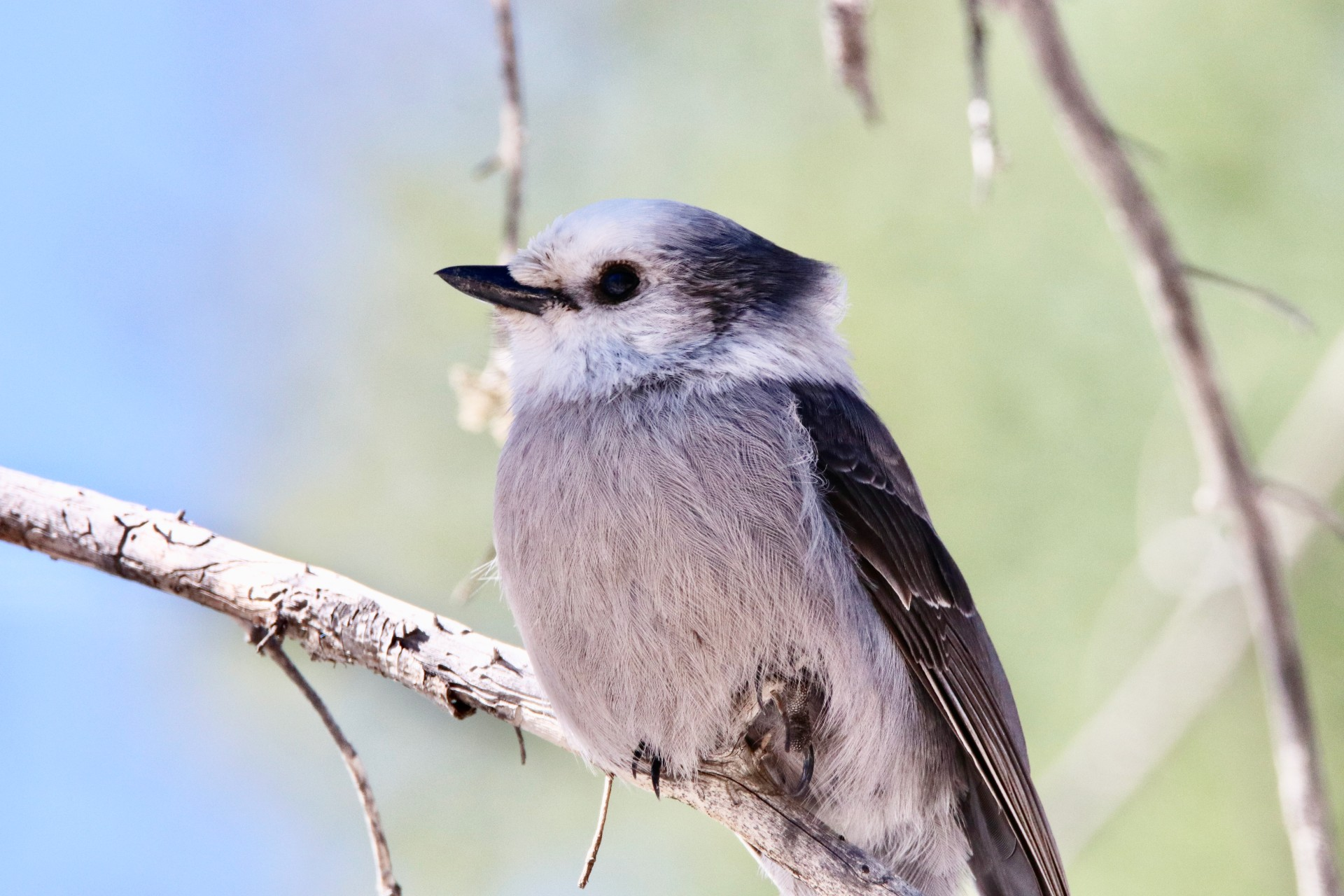 Canada Jay Photographed By Sara Turbyfill On The Bachelor Loop.