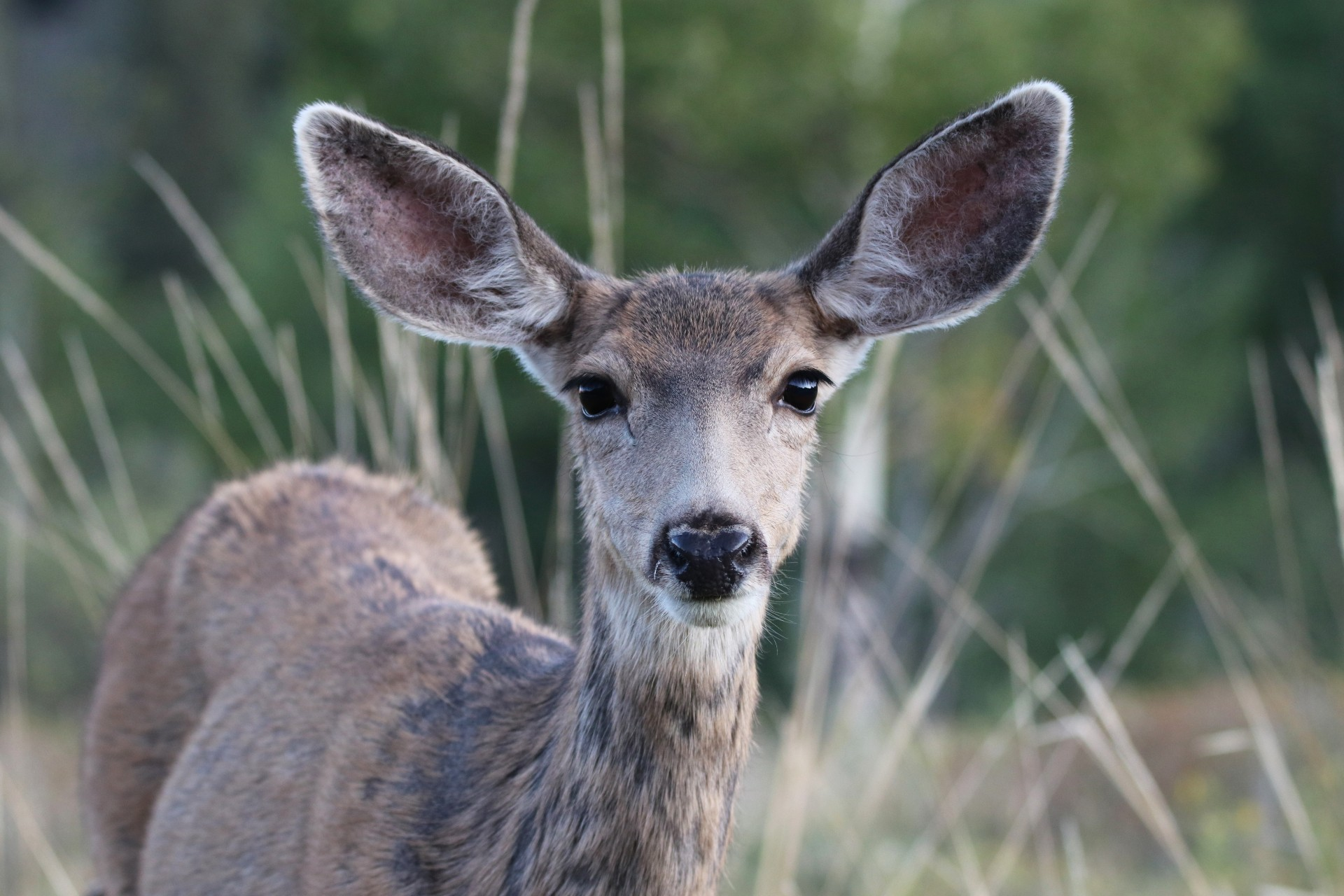 Female Mule Deer Photographed By Sara Turbyfill In Creede, Colorado.