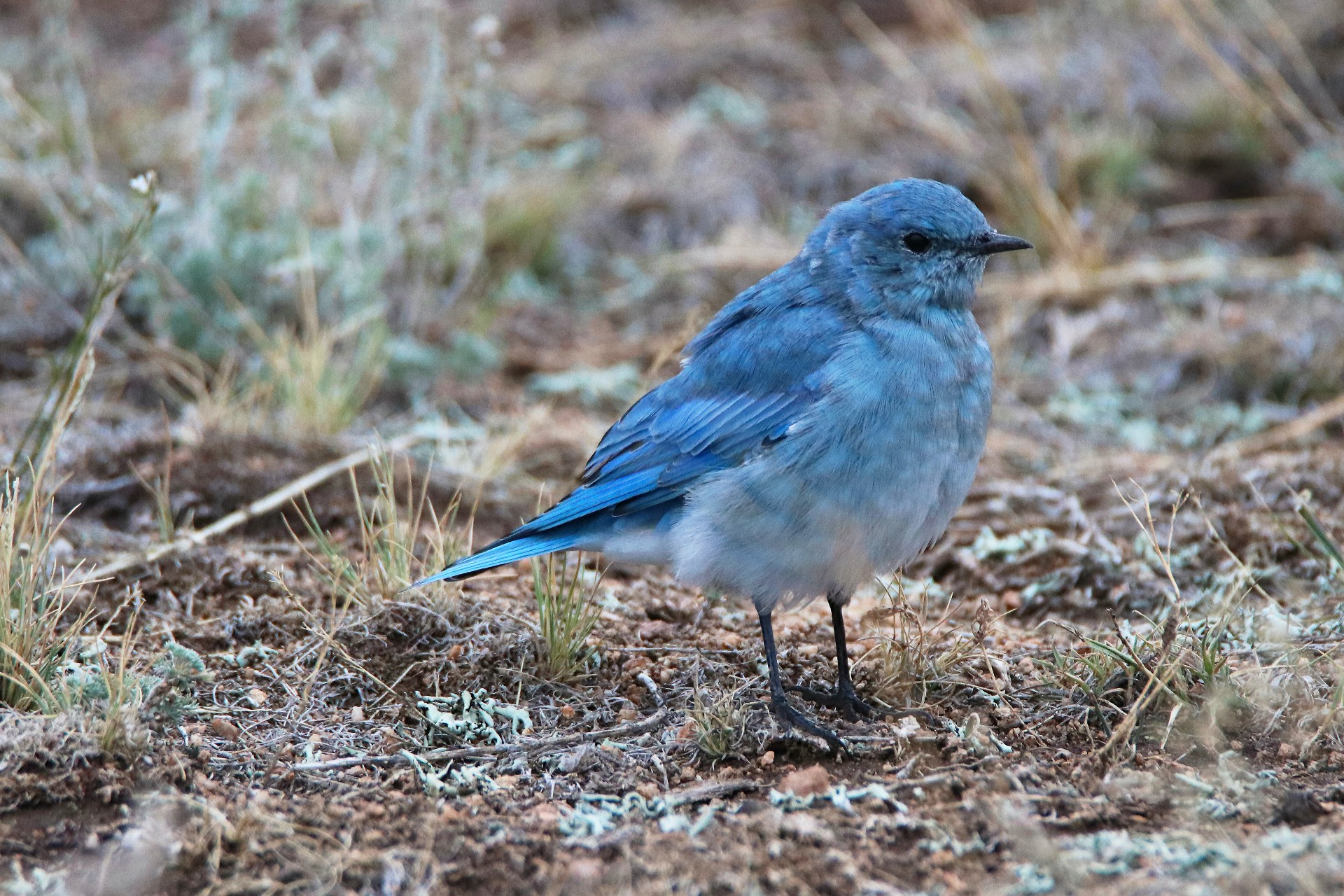 Mountain Bluebird Photographed By Sara Turbyfill At Eleven Mile State Park.