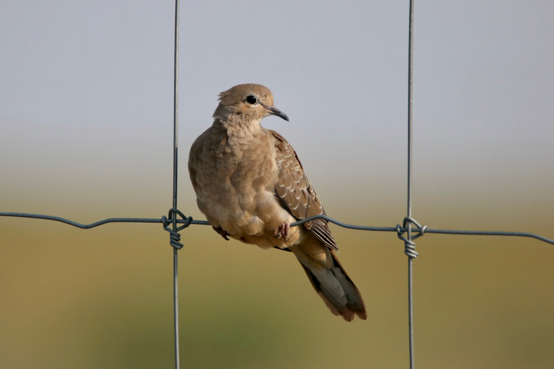 Mourning Dove Photographed By Sara Turbyfill In Commerce City, Colorado.
