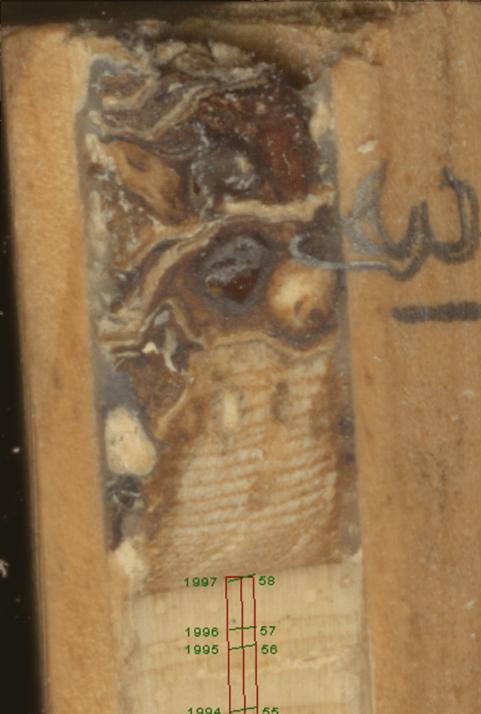Pinus edulis bark