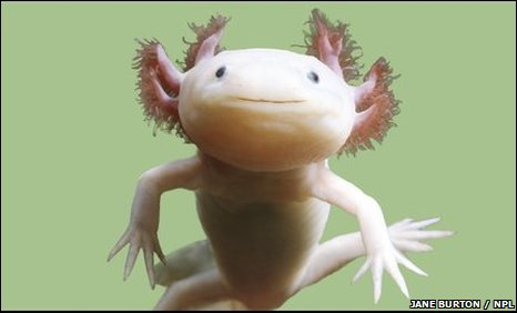 The axolotl is about to go extinct in the wild
