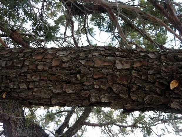 Alligator juniper bark - square pattern