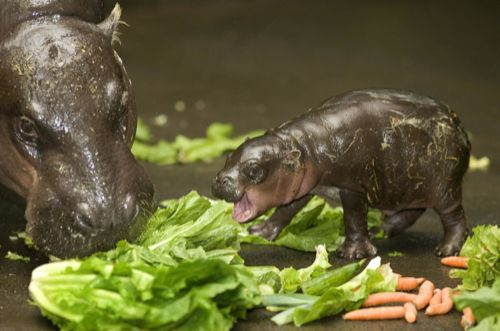 cute attack: baby pygmy hippo