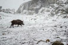 Cinghiale nella neve a Villagrande Strisaili - foto Instagram @fededem86