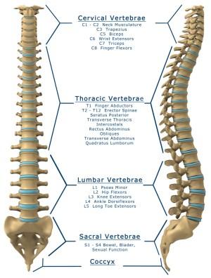 spinal cord | Sargam Mishra