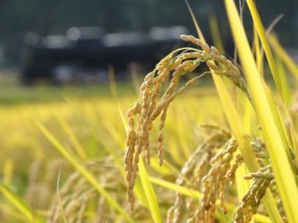 発芽玄米って何?有効成分や効能を教えて!