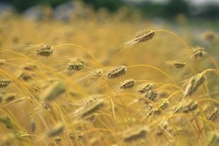 栄養成分の宝庫!小麦若葉の効果・効能と選び方の基準!