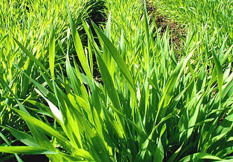 大麦若葉の効果・効能!有効成分が豊富で【冷え性・便秘解消も】