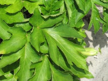 明日葉の効能!食物繊維が豊富でセルライト除去にも効果的!