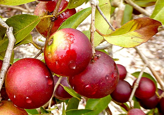 スーパーフルーツ「カムカム」の効果・効能と栄養!