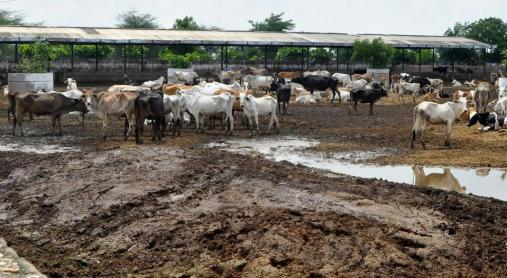 Cow Homes For Stray Cattle