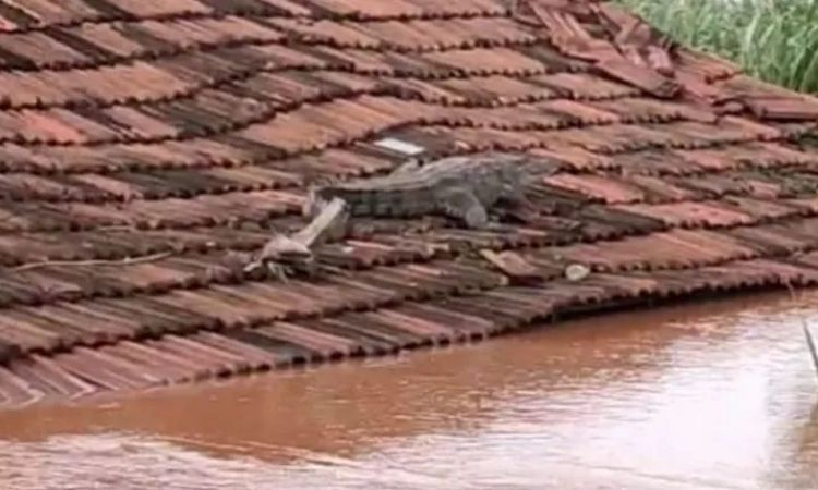 Sangli News | The crocodile that came with the flood remained stuck on the roof of the house even after the water receded