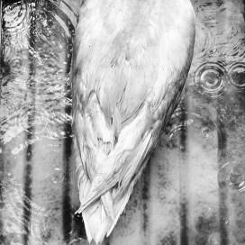 Ducks_015