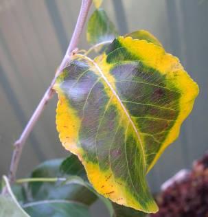 Leaves hang vertically