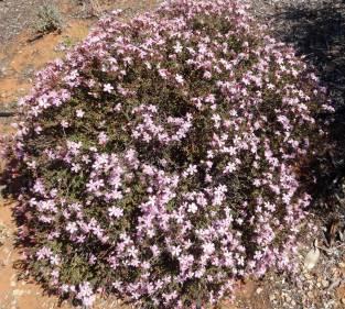 Frankenia-pauciflora (common-sea-heath)
