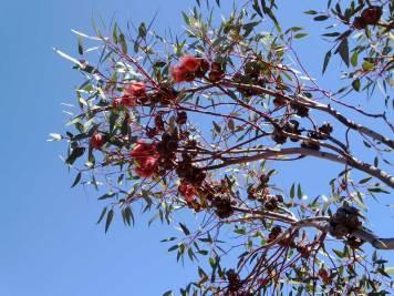 Eucalyptus youngiana (ooldea mallee)