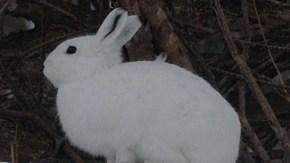 サロベツ湿原センターのそばにユキウサギ
