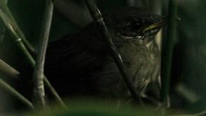 エゾセンニュウ幼鳥