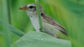 鏡沼にコヨシキリ幼鳥?