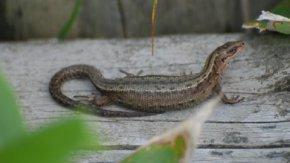 【案内】 7/1 北海道の両生類と爬虫類講座
