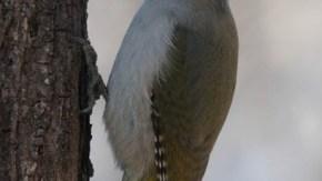 自然公園ヤマゲラ