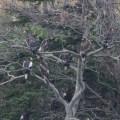 稚内市にワシのなる木
