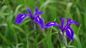 サロベツ湿原 最新開花情報180628