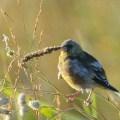 秋の木道の小鳥たち