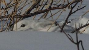 ウサギ観察会下見
