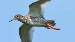 サハリンの鳥類 バイカル湾 シギ類